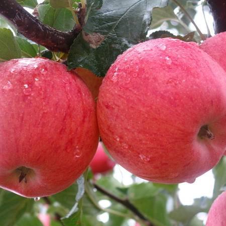 新鲜苹果 水果 山东烟台栖霞红富士5斤 包邮