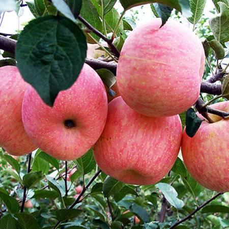 杞农云商 新鲜水果红将军苹果 2500g