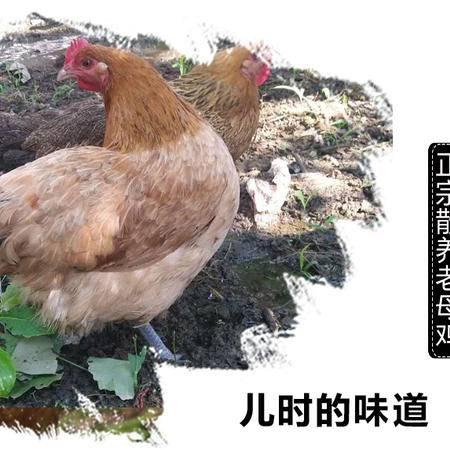 生态鸡散养土鸡2.5-3斤
