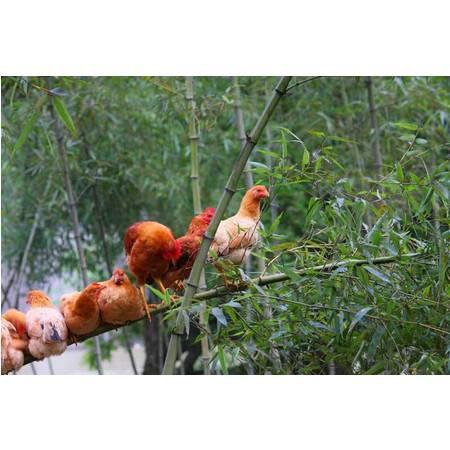 【金融邮惠购】临安柳庄山水鸡 土鸡 养在深山的10个月土鸡