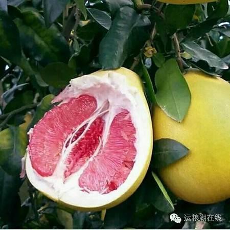 潜江运粮湖农场红心柚