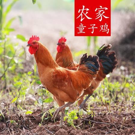 农家散养童子鸡 子公鸡2斤左右