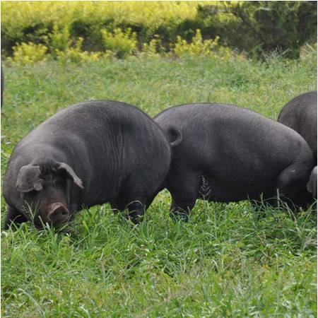 新鲜土猪肉黑猪肉正宗农家散养土猪排骨五花肉等无饲料喂养新鲜1500g