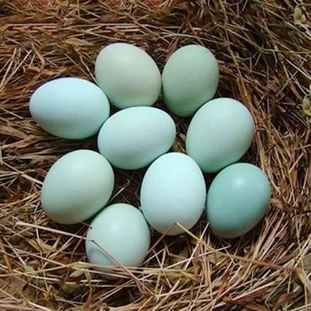 正宗农家散养无公害乌鸡蛋新鲜绿壳蛋20枚新鲜土鸡蛋纯天然鸡蛋