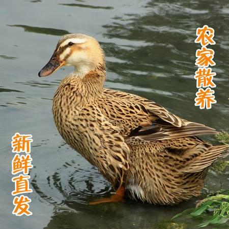 活鸭子新鲜鸭肉仔鸭肉纯杂粮喂养生态放养散养现杀真空包装