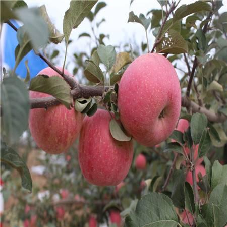 洛川苹果陕西红富士苹果香甜可口 ,洛川直发,脆甜多汁75mm,