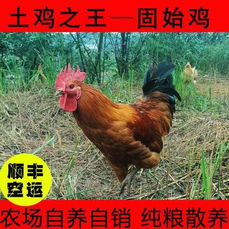 农村土鸡肉自养喂粮食(公鸡)包邮良星农场