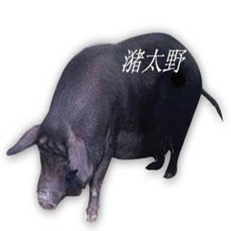 潴太野 <活体黑香猪>全放养 18元/斤 自配送 预售